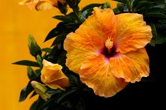 Hawaiian hibiscus - a beautiful vibrant variety of hibiscus flowers. A  beautiful and vibrant variety of hibiscus, hawaian orange hibiscus, in a tropical garden royalty free stock photos