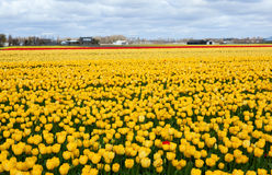 Beautiful vibrant yellow tulip field Royalty Free Stock Photos