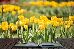 Beautiful vibrant yellow tulips in landscape country garden coming out of pages of open story book. Beautiful colorful yellow tulips in landscape country garden royalty free stock photo