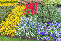 Beautiful vibrant yellow, white and red tulips, Keukenhof Royalty Free Stock Photography