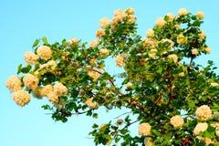 Beautiful viburnum snowball roseum tree flower blossom Royalty Free Stock Photography