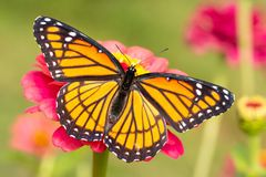 Beautiful Viceroy butterfly on a hot pink Zinnia flower stock images