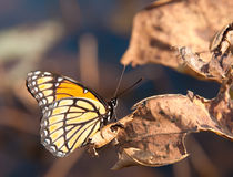 Beautiful Viceroy butterfly resting on a dry leaf Stock Photography