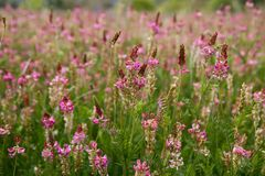 Beautiful Vicia Tinctoria pink flower plant used f Stock Photography