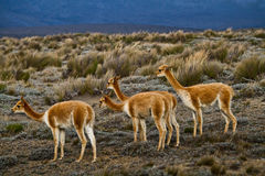 Beautiful vicugnas in Chimborazo National Park Stock Photography