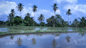 Beautiful video of rice fields and palm trees in the background stock video footage