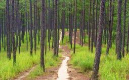 Beautiful Vietnam landscape, Dalat pine jungle Royalty Free Stock Photography