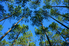 Beautiful Vietnam landscape, Dalat pine jungle Stock Photos
