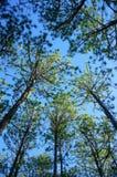 Beautiful Vietnam landscape, Dalat pine jungle Royalty Free Stock Photo
