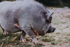 Beautiful vietnamese pig in the meadow stock images