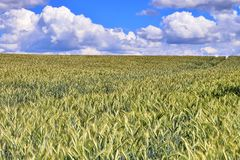 Beautiful view on an agricultural crop field on a sunny day with a blue sky and some clouds stock photography