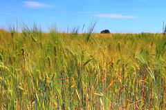 Beautiful view on an agricultural crop field on a sunny day with a blue sky and some clouds royalty free stock photo