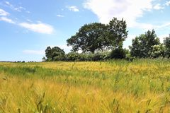 Beautiful view on an agricultural crop field on a sunny day with a blue sky and some clouds royalty free stock image