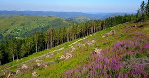 Pink flowers on the mountains. Drone flight. Beautiful view from the air at the green mountains of the Carpathians, pink flowers and road, summer time. Eastern stock video