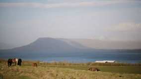 Beautiful view of the animals farm on the nature. Wild Icelandic horse eating grass, grazing on the field. stock video