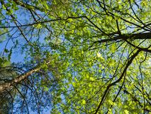 Beautiful view from below on the tall trees in the Park. Young bright spring foliage on blue sky background. Fresh air Stock Image