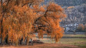View, big tree, willow weeping in autumn. Beautiful view, big tree, willow weeping in autumn with background Royalty Free Stock Photography