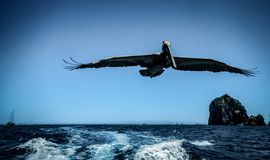 Beautiful View Of A Brown Pelican In Cabo San Lucas On A Spring Day. Beautiful view of a Brown Pelican in Cabo San Lucas on a beautiful spring day with blue sky stock photo