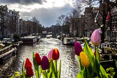 Tulips - Amsterdam - Buildings. A beautiful view of a canal in Amsterdam with Tulips Stock Photos