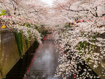 Beautiful view of a cherry blosson near of the river located in the city of hanami Kyoto, in the spring season Stock Image