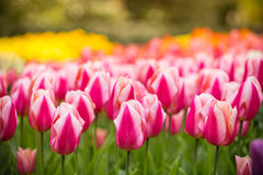 Beautiful view of colored tulips. Royalty Free Stock Photos