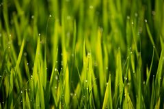 View of dew drop on the rice sprouts in the morning. Beautiful view of dew drop on the rice sprouts in the morning stock image