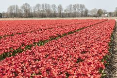 Beautiful view of a Dutch tulip field stock photography