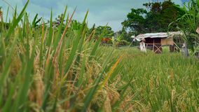 Beautiful view of farm hut on rice field cereal plantation in Asia with wind blowing the plants quietly. In agriculture and environment concept stock video