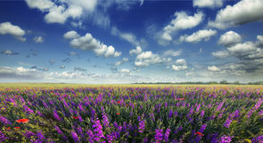 Beautiful view of a field of flowers. Royalty Free Stock Photo