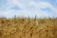 Beautiful view of the field a on a sunny day. Wheat Royalty Free Stock Photo