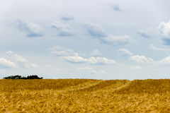 Beautiful view of the field a on a sunny day. Wheat - Close up o Royalty Free Stock Photography