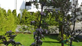 Beautiful view of front yard of private garden.. Gorgeous pink and white blooming apple tree on  background stock footage