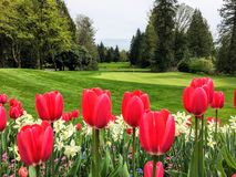 A beautiful view of a golf course with a green surrounded by evergreen forest in the background, and a garden of red tulips. And daffodils in the foreground stock images