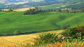 Beautiful View of green Hilly Tuscan Field in summer. With the typical Italian house, the red poppy field, the cypresses tree, and the agricultural field in stock footage