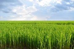 Beautiful view Green rice seedlings cornfield Stock Photos