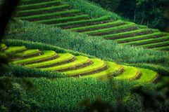 Green terraced rice field at Bong Piang forest in Mae Chaem, Chiang Mai, Thailand. Beautiful view of green terraced rice field at Bong Piang forest in Mae Chaem stock images