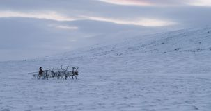 Beautiful view of group of reindeers running fast through the snow field with a man on a sleigh. Slow motions stock video