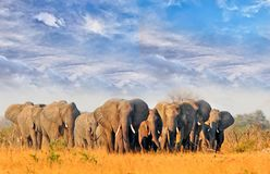Beautiful view of a herd of elephants walking on the yellow plains with a lovely blue wispy sky. Herd of elephants walking across the dry arid african plains in royalty free stock photography