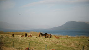 Beautiful view of the herd of Icelandic horses walking on the field, eating grass. Countryside farm. stock footage