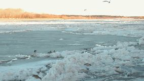Beautiful view of the ice drift on the river in the spring. Sandy beach with trees. Birds walking on the beach. Beautiful view of the ice drift on the river in stock video footage