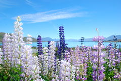 Beautiful view of Lake Tekapo, New Zealand Royalty Free Stock Photography