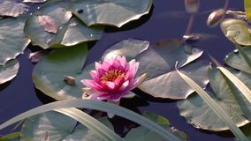 Pink lotus flower on the pond. stock video