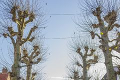 Beautiful view of a leafless trees with a blue sky. On a wonderful and sunny winter day in the city of Bruges Belgium stock photography