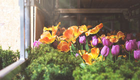 Beautiful view of lot of yellow and pink tulips with green leafs Royalty Free Stock Images