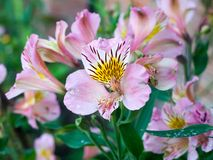Beautiful view of lush ripe Peruvian lily Alstroemeria flower. Head petals; England; UK stock photo