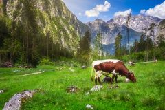 Meadow with cows in Berchtesgaden National Park stock photos