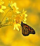 Monarch Butterfly Rests & Feeds on Sunflower. A beautiful view of a monarch butterfly resting and feeding on a yellow sunflower Royalty Free Stock Image