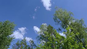 Beautiful view of moving tops of high trees on blue sky background. stock video