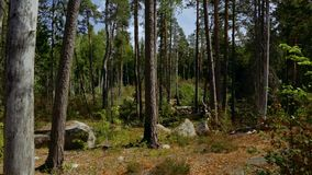 Beautiful view on nature landscape from rocky forest hill. Tall trees, green plants, yellow grass. Beautiful nature backgrounds. Sweden, Europe stock video footage