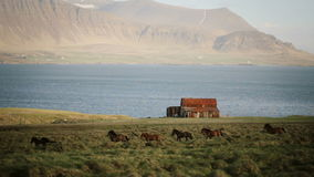 Beautiful view of North nature. The herd of wild icelandic horses running in gallop through the field near the old house stock video footage